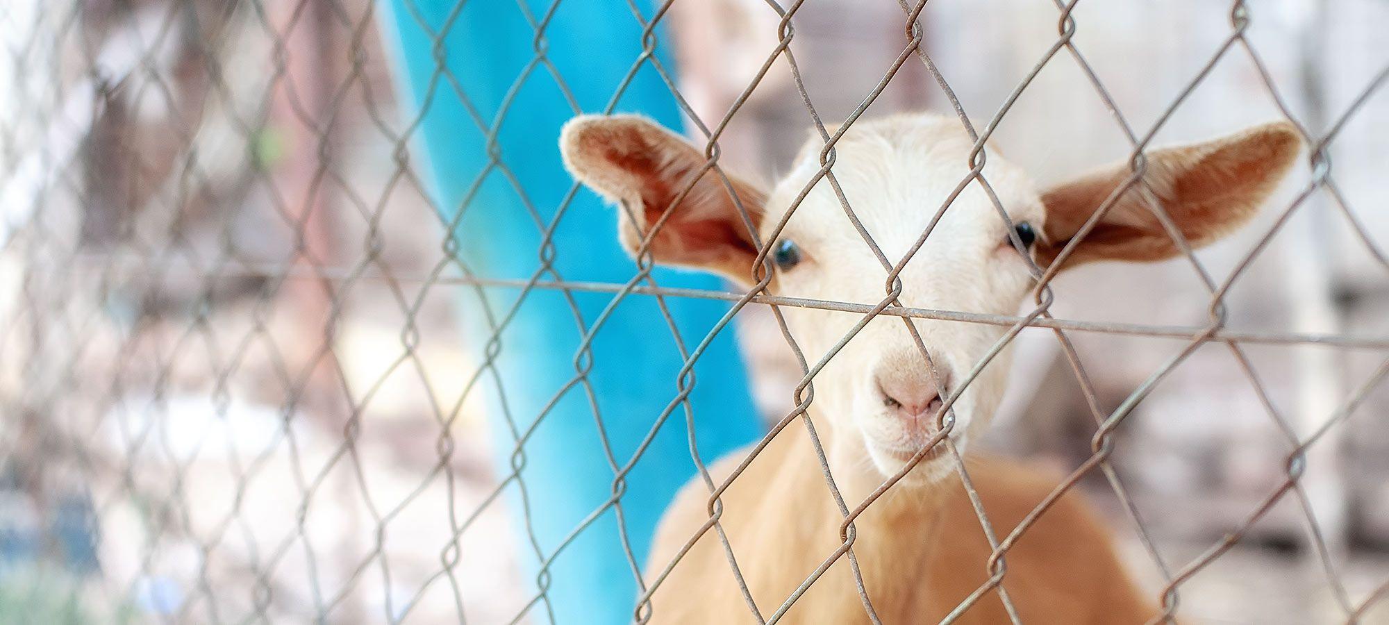 Schaf hinter Gittern