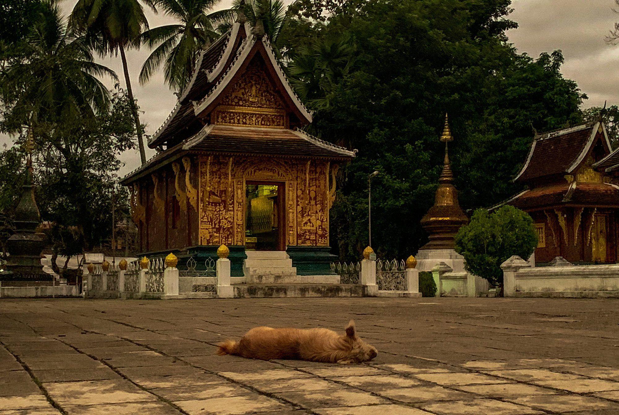 schlafender Hund in Luang Prabang