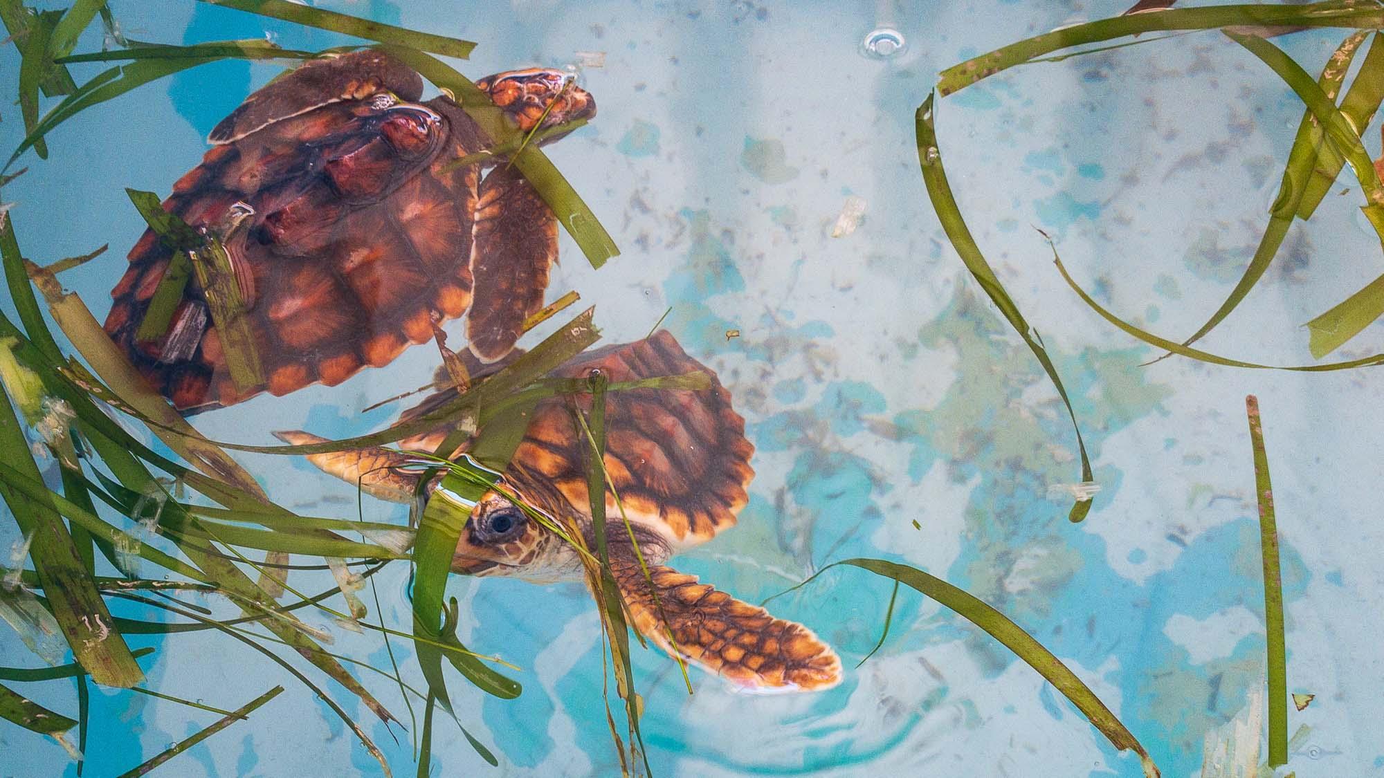junge meeres schildkröte