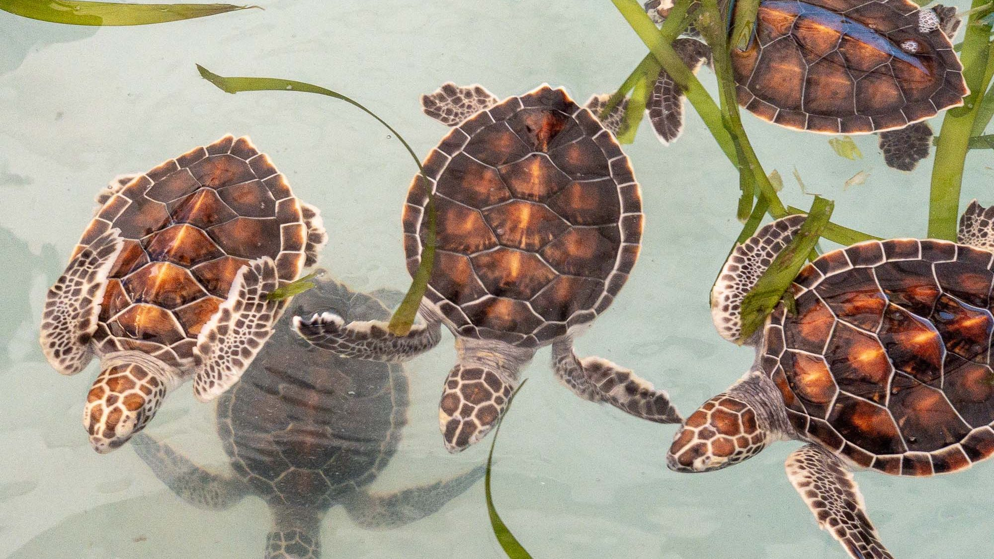 baby schildkröten
